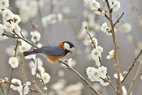 梅の花と小鳥(ヤマガラ)