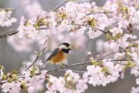 桜の花と小鳥(ヤマガラ)