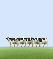 牧場の牛 ミニチュア 10610000346| 写真素材・ストックフォト・画像・イラスト素材|アマナイメージズ