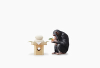 鏡餅のみかんにキスするチンパンジーのこども