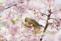 インコと桜 10610003268| 写真素材・ストックフォト・画像・イラスト素材|アマナイメージズ