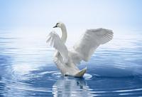 湖面で翼を広げるハクチョウ
