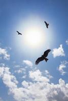 空を飛翔するトビ