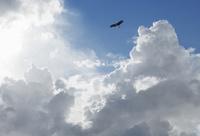 空高く飛翔するトビ