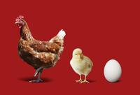 ニワトリとヒヨコと卵