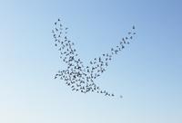空に鳥のシルエットを描くハトの群れ