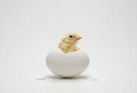 卵から顔をだすヒヨコ