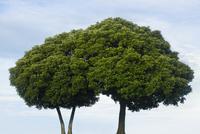 寄り添う木々