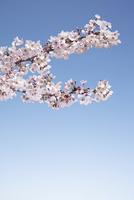 満開のソメイヨシノの枝
