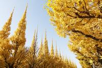 黄色に染まるイチョウの並木 10610003710| 写真素材・ストックフォト・画像・イラスト素材|アマナイメージズ