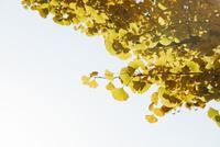 黄色に染まるイチョウの葉 10610003719| 写真素材・ストックフォト・画像・イラスト素材|アマナイメージズ
