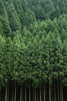 京都の北山杉の杉林