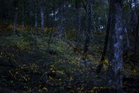 森の中を飛ぶヤエヤマボタルの大群