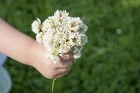 シロツメクサの花束
