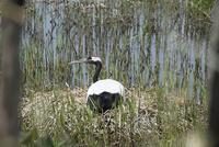 丹頂鶴の抱卵