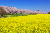 桜と菜の花咲く幸手権現堂堤 10625000142| 写真素材・ストックフォト・画像・イラスト素材|アマナイメージズ