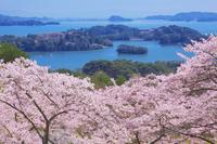 西行戻しの松公園の桜と松島 10625000177| 写真素材・ストックフォト・画像・イラスト素材|アマナイメージズ