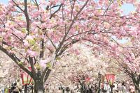 大阪造幣局 桜の通り抜け 10630005578| 写真素材・ストックフォト・画像・イラスト素材|アマナイメージズ