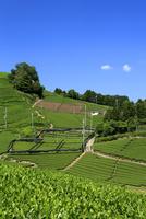 京都 新緑の茶畑