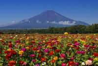 ヒャクニチソウと富士山