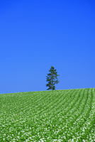 美瑛のジャガイモ畑 10639000521| 写真素材・ストックフォト・画像・イラスト素材|アマナイメージズ
