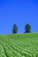 美瑛のジャガイモ畑 10639000522| 写真素材・ストックフォト・画像・イラスト素材|アマナイメージズ