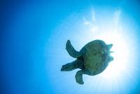海中で泳ぐウミガメ