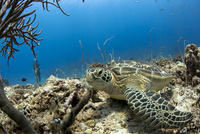 海中で休むウミガメ
