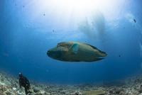 海中で泳ぐナポレオンフィッシュ
