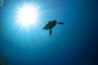 大海原を泳ぐウミガメ