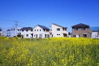 菜の花が咲く住宅街 10669001667| 写真素材・ストックフォト・画像・イラスト素材|アマナイメージズ