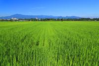 夏の水田と丹沢山地