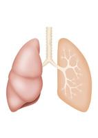 肺概略図 イラスト(リアル/簡略断面図)