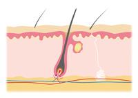 肌構造図 イラスト