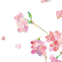 sakura 10672000080| 写真素材・ストックフォト・画像・イラスト素材|アマナイメージズ