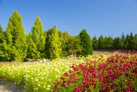 国営備北丘陵公園のコスモス