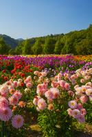 世羅高原農場の花園