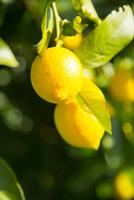 広島県産のレモン