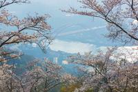 桜と音戸の瀬戸