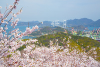 桜と来島海峡大橋 10685002505| 写真素材・ストックフォト・画像・イラスト素材|アマナイメージズ