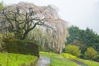 中越家の枝垂桜