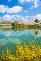 桜咲く庄原上野公園
