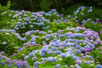 北浦の紫陽花寺