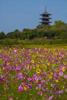 備中国分寺五重塔とコスモス