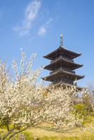 梅の花と備中国分寺の五重塔
