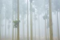 霧の針葉樹林 10685003314  写真素材・ストックフォト・画像・イラスト素材 アマナイメージズ