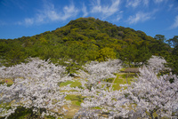 萩城跡にて桜と指月山 10685003317| 写真素材・ストックフォト・画像・イラスト素材|アマナイメージズ