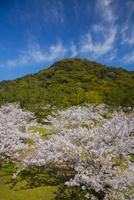 萩城跡にて桜と指月山 10685003318| 写真素材・ストックフォト・画像・イラスト素材|アマナイメージズ