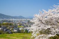 桜と萩の町並み