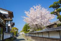 武家屋敷の小道と桜 10685003336| 写真素材・ストックフォト・画像・イラスト素材|アマナイメージズ